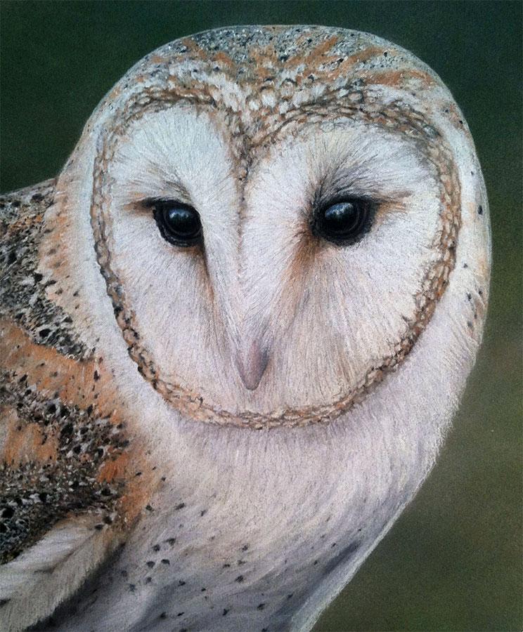 Barn Owl Portrait