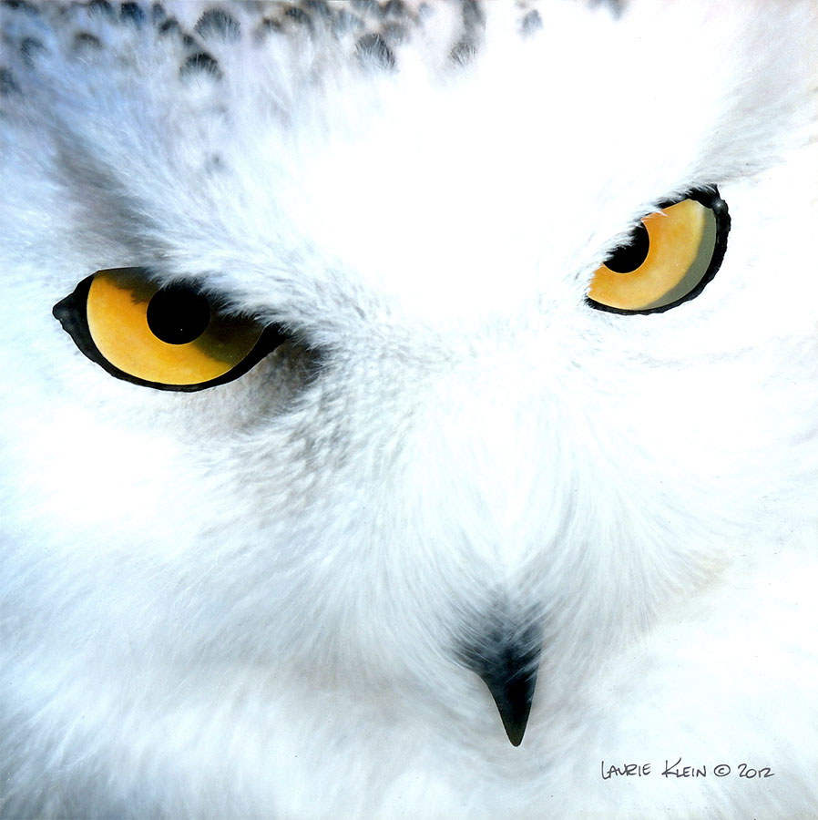 Harfang - Snowy Owl Portrait